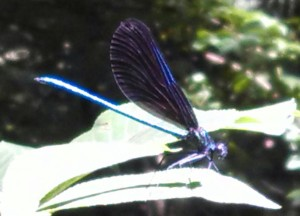 This a crappy cell phone photo of Calopteryx, taken yesterday, that hopefully will give some idea of how cool it was to watch them.